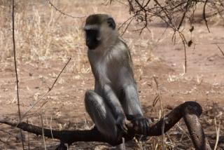 majmun1