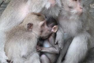 ubud_suma_majmuna_01