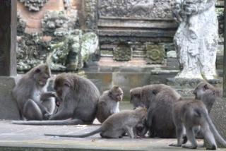 ubud_suma_majmuna_19