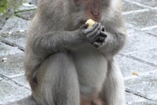 ubud_suma_majmuna_20